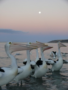 Pelicans in Emu Bay by Inga Schroeder.