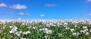 Poppy Fields Nth Tas